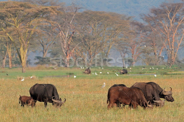 Stock photo: African buffaloes with egrets