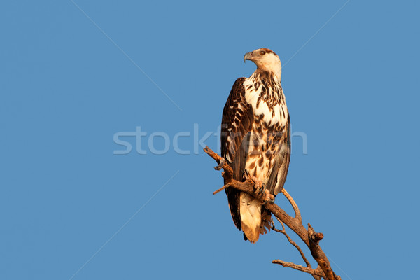 African fish-eagle Stock photo © EcoPic