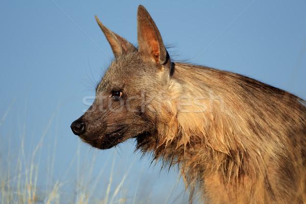 Stock photo: Brown hyena portrait