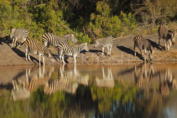 Zebras água potável natureza reserva África do Sul Foto stock © EcoPic