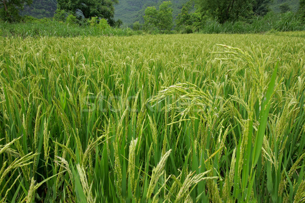 Chinese rijstveld volwassen rijst planten China Stockfoto © EcoPic