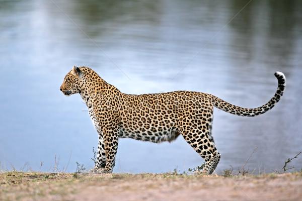 Alert leopard Stock photo © EcoPic