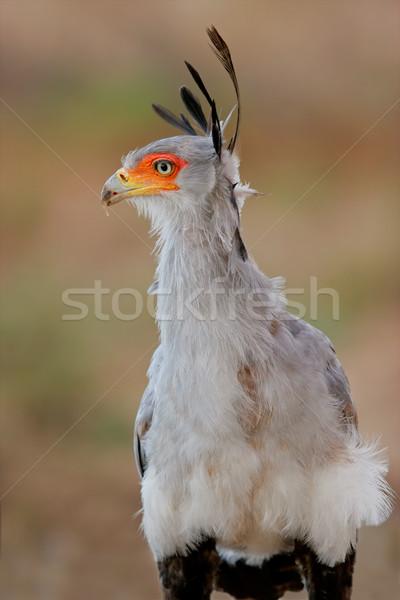 Secretary bird Stock photo © EcoPic