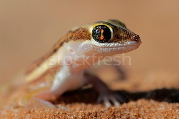 Kalahari ground gecko Stock photo © EcoPic