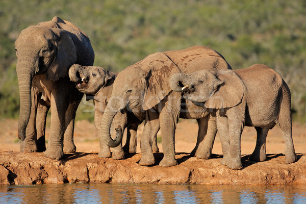Stock photo: African elephants at waterhole