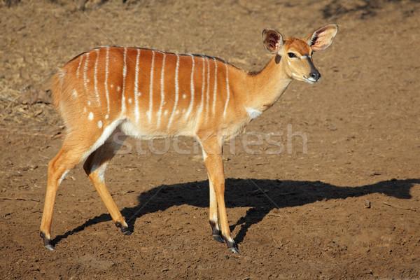 Nyala antelope Stock photo © EcoPic