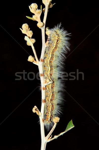 волосатый Caterpillar сидят филиала черный тело Сток-фото © EcoPic