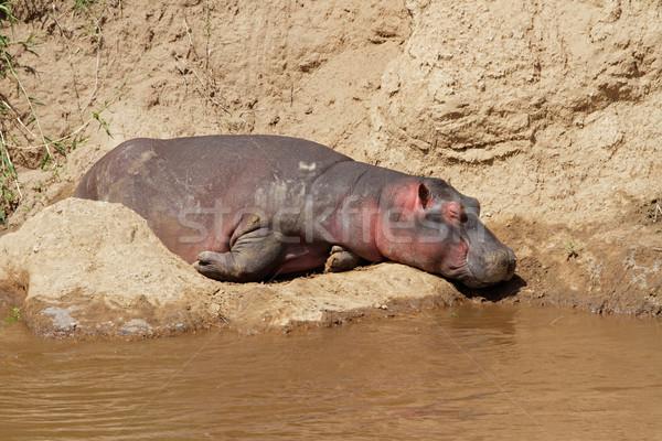 Hippopotamus resting Stock photo © EcoPic