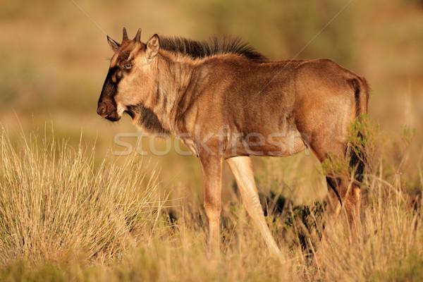 Blue wildebeest calf Stock photo © EcoPic