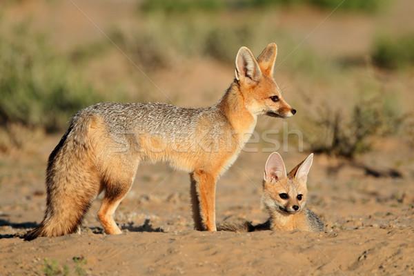 Désert Afrique du Sud nature Afrique Fox cute Photo stock © EcoPic