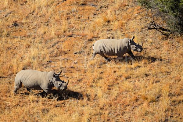 White rhinoceros pair Stock photo © EcoPic