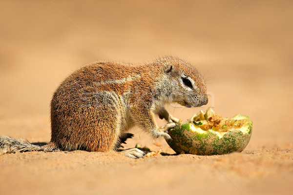 Feeding ground squirrel Stock photo © EcoPic