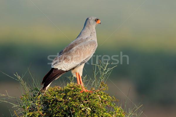 Pâle arbre Afrique du Sud oiseau Afrique parc Photo stock © EcoPic