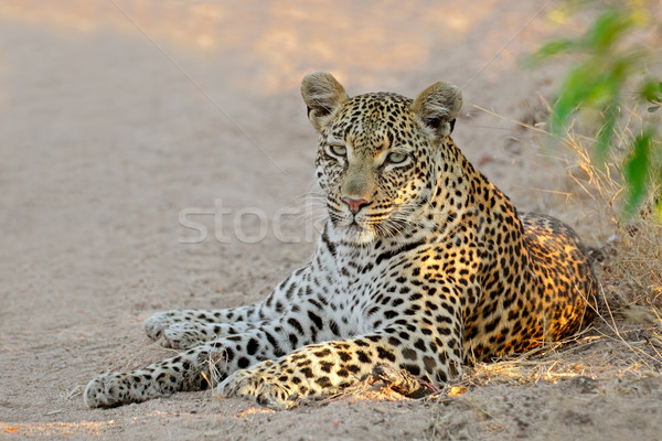 Leopard resting Stock photo © EcoPic