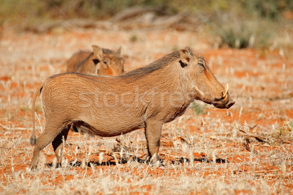 Warthogs in natural habitat Stock photo © EcoPic