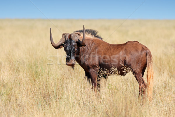 Black wildebeest Stock photo © EcoPic