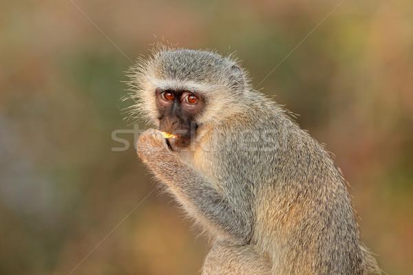 Vervet monkey Stock photo © EcoPic