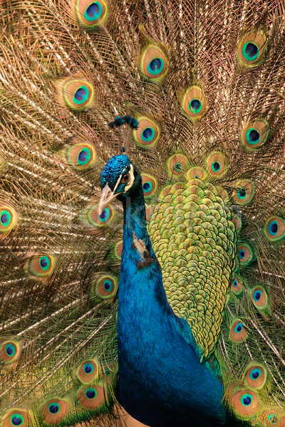Male peacock Stock photo © EcoPic