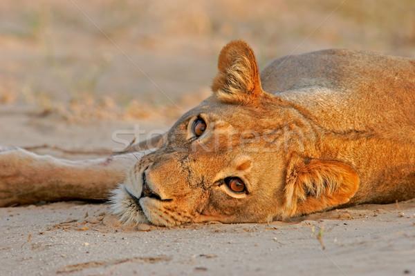 Resting lioness Stock photo © EcoPic
