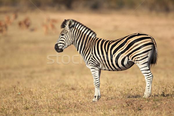 平野 シマウマ シマウマ 南 草 動物 ストックフォト © EcoPic