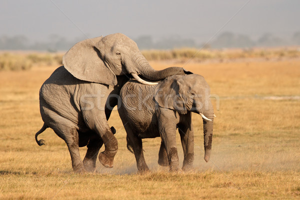 Mating African elephants Stock photo © EcoPic