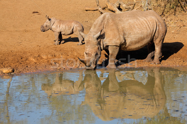 Fehér orrszarvú ivóvíz játék tartalék Dél-Afrika Stock fotó © EcoPic