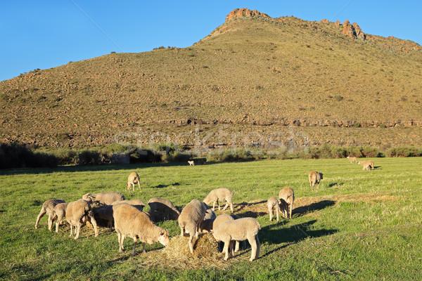 Sheep on pasture Stock photo © EcoPic