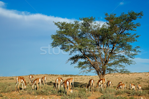 Springbok antelope landscape Stock photo © EcoPic