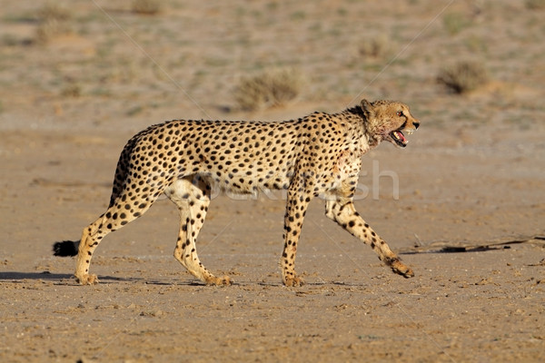 Cheetah woestijn South Africa ogen kat afrika Stockfoto © EcoPic