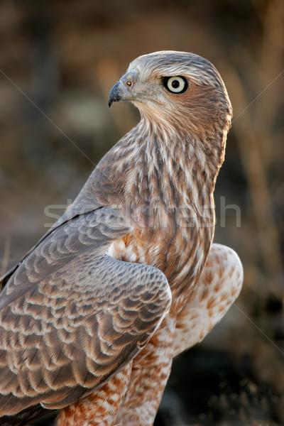 Pâle immature désert Afrique du Sud oeil oiseau Photo stock © EcoPic