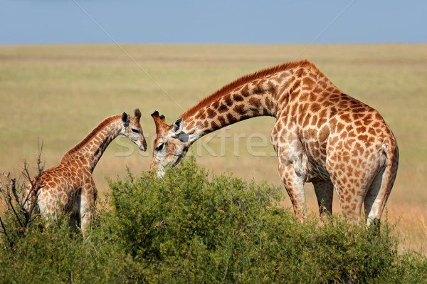 Giraffe cow and calf  Stock photo © EcoPic