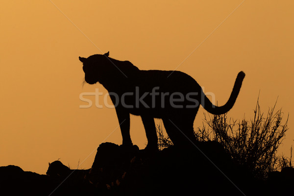 Leopard silhouette Stock photo © EcoPic