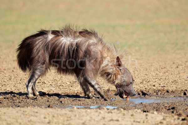 Bruin hyena drinkwater woestijn South Africa natuur Stockfoto © EcoPic