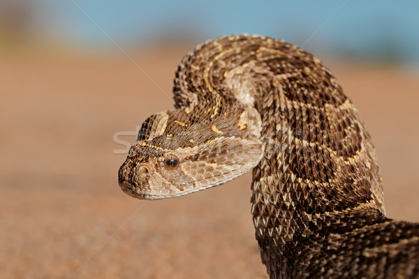 Defensive puff adder Stock photo © EcoPic