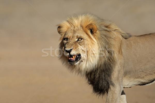 Snarling African lion Stock photo © EcoPic