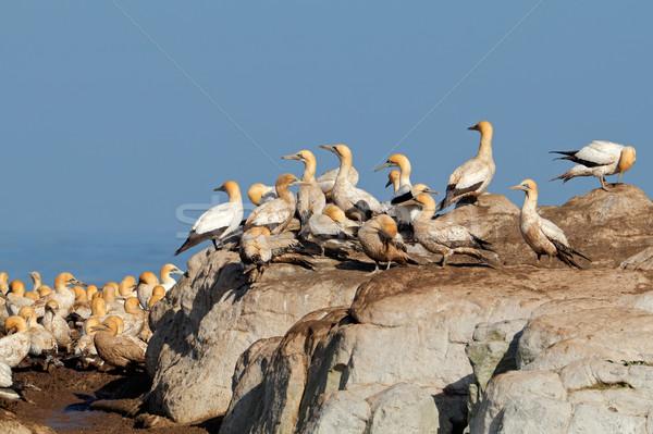 Koloni üreme kuş ada Güney Afrika doğa Stok fotoğraf © EcoPic