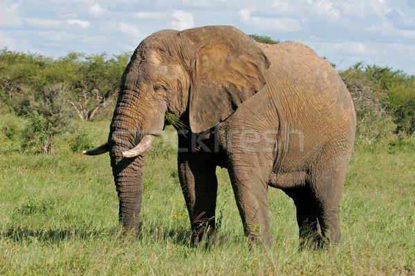 African bull elephant Stock photo © EcoPic