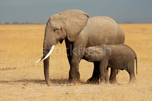 African elephant with calf Stock photo © EcoPic