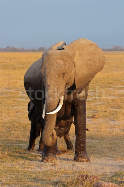 Afrikaanse olifant park Kenia natuur reizen afrika Stockfoto © EcoPic