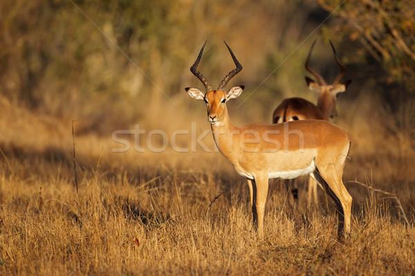 Impala antelope Stock photo © EcoPic
