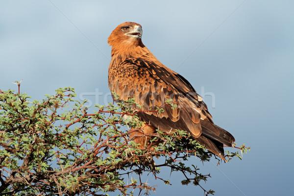 Tawny eagle Stock photo © EcoPic