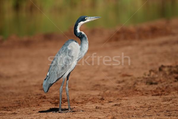 Garça-real África do Sul pernas animal asas africano Foto stock © EcoPic