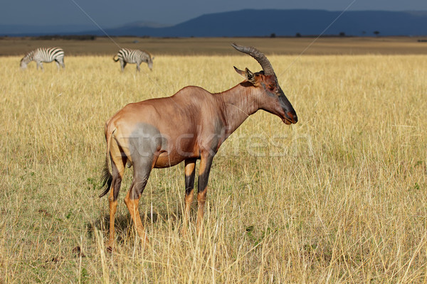 Zèbres réserve Kenya animaux africaine Photo stock © EcoPic