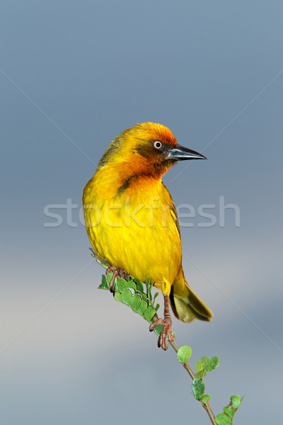 Cape weaver Stock photo © EcoPic