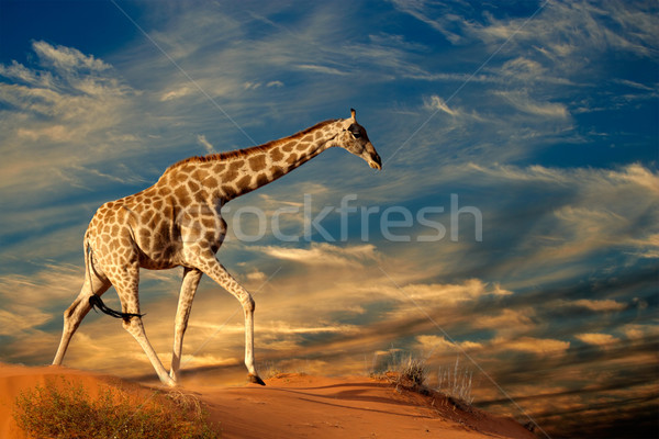 Giraffe on sand dune Stock photo © EcoPic
