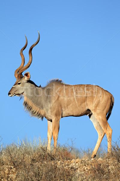 Groot mannelijke blauwe hemel woestijn South Africa natuur Stockfoto © EcoPic