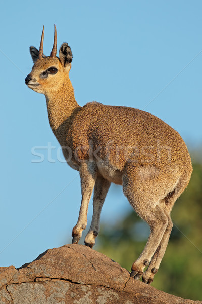 Klipspringer antelope on rock Stock photo © EcoPic