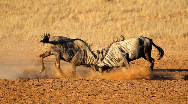 Fighting blue wildebeest Stock photo © EcoPic