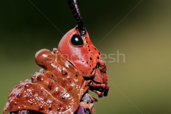 グラスホッパー 肖像 赤 南アフリカ 自然 動物 ストックフォト © EcoPic