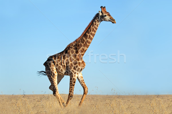 Stock photo: Giraffe on African plains